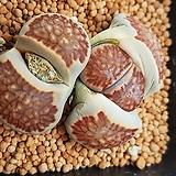 리톱스속 키쿠쇼기요쿠 국장옥 Lithops julii(Dinter & Schwantes) N. E. Br 씨앗 10립 (LS002)|Lithops