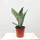 문샤인 산세베리아 실내화초 공기정화식물|Sansevieria