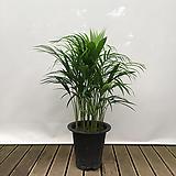 아레카야자(포트) 중품 실내 화초 인테리어식물|