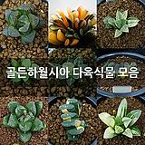 골든하월시아 다육식물 모음|haworthia