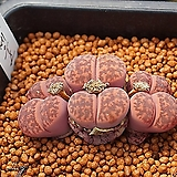 루브로로세우스 Lithops bromfieldii var.glaudinae(De Boer) Cole 씨앗 20립 (LS009)|