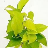 공기정화식물 스킨 형광스킨 넝쿨식물 실내식물 음지식물 수경재배|