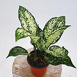 스노우사파이어 아글레오네마 아글레오마 실내식물 음지식물 수경재배 공기정화식물|