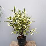 저스티시아green进口식물随机
