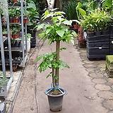 미남형녹보수대품 인테리어식물 10013049925 happy tree