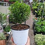 머틀허브나무 외목대 고급허브 20~25cm|Hub