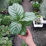 오르비폴리아 소품 공기정화식물 최상급 15~25cm|