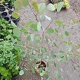 유칼립투스 폴리안 대품 공기정화식물 80~120cm|