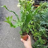 귀요미 무늬아비스 새순이나오면서 잎이 무늬가 생겨요 15~25cm|