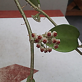 호야.하트호야.걸이.(아이보리색에 밤색립프).꽃색깔예뻐요.향기좋은향.인테리어효과.공기정화식물. Echeveria J.C.Van Keppel