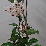 호야.카노사(연핑크).스마일.인테리어효과.공기정화식물.꽃눈이 많아요. Hoya carnosa