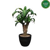 행운목 개업화분 사무실식물|happy tree