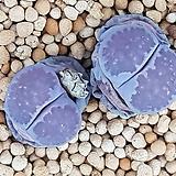 살리콜라 바커스 씨앗 10립 Lithops Salicola bacchus (LS018)|