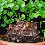 구갑룡수입씨앗 7립|Dioscorea elephantipes