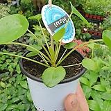 필레아페페 소품 인기 식물 15~20cm