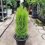 율마 중대품 공기정화식물 허브 65~80cm|