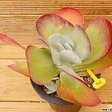당인 자연군생|Kalanchoe thysifolia