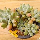 일본경미인|Pachyphytum oviferum cv. Kyobijin