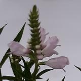 꽃범의꼬리|