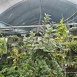 에스첸안서스 수입식물 공중식물 50~70cm 꽃이없을수도있음 