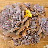 큐빅후로스티 자연군생|Echeveria pulvinata Frosty