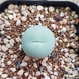 conophytum 칼쿨러스|