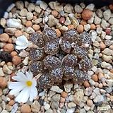 conophytum 펠루시덤|Echeveria Lucy