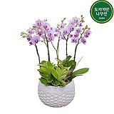 핑크호접란 중품 개업선물 축하선물 승진선물 행사용식물 서양란 서양난|