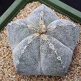 온즈카난봉옥(사이즈좋음)분채배송|Astrophytum myriostigma cv. ONZUKA