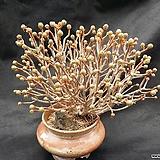 선동창분재(분채배송)|Aeonium spathulatum