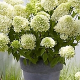 스카이폴 유럽목수국|Hydrangea macrophylla