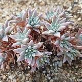 화이트그리니 자연군생 분지중|Dudleya White gnoma(White greenii / White sprite)