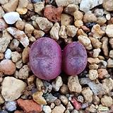 conophytum 마우가니 (교배종)|Conophytum maughanii