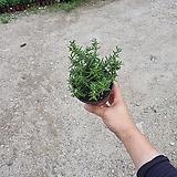 클리핑로즈마리 소품 공기정화식물 10~20cm|Rosemary