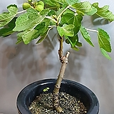 무화과나무