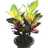 아이리스크로톤(중품)|Codiaeum Variegatum Blume Var Hookerianum