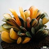 하월시아 정고금|haworthia