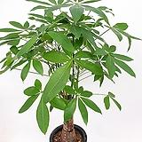 목대정말좋은 아담사이즈 파키라 공기정화식물 실내식물|
