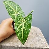 싱고니움  나바카   수입식물|