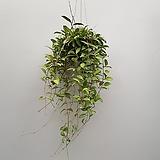 호야 로시타   수입식물|Hoya carnosa