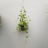 디시디아넘초크 수입식물  공중식물|