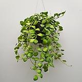 호야헤쉬겔리아나  수입호야|Hoya carnosa