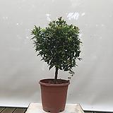 꽃대 맺힌 귀한 피어리스 대품 大 인테리어식물 화분인테리어 카페식물|