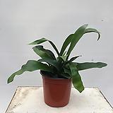 박쥐란 공기정화식물 인테리어식물 미세먼지제거식물|