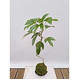 황칠나무 이끼볼(도자기받침)|