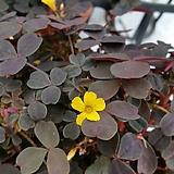 미니 옥살리스(흑사랑초)|