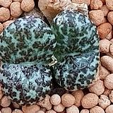Conophytum