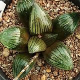 하월시아 스프링복블라켄시스 쿠로노이|haworthia
