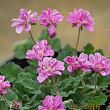 분홍겹풍로초