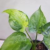 알로카시아 무늬알로카시아  수입식물 동일상품발송|Alocasia